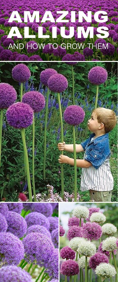 Amazing Alliums! • Your tulips and daffodils may still get top billing in the ...
