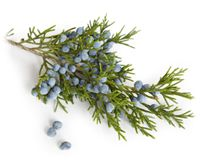 The action of juniper closely resembles cypress, to which it is botanically rela...