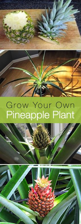 Did you know that if you replant the top of a pineapple, not only will it grow, ...