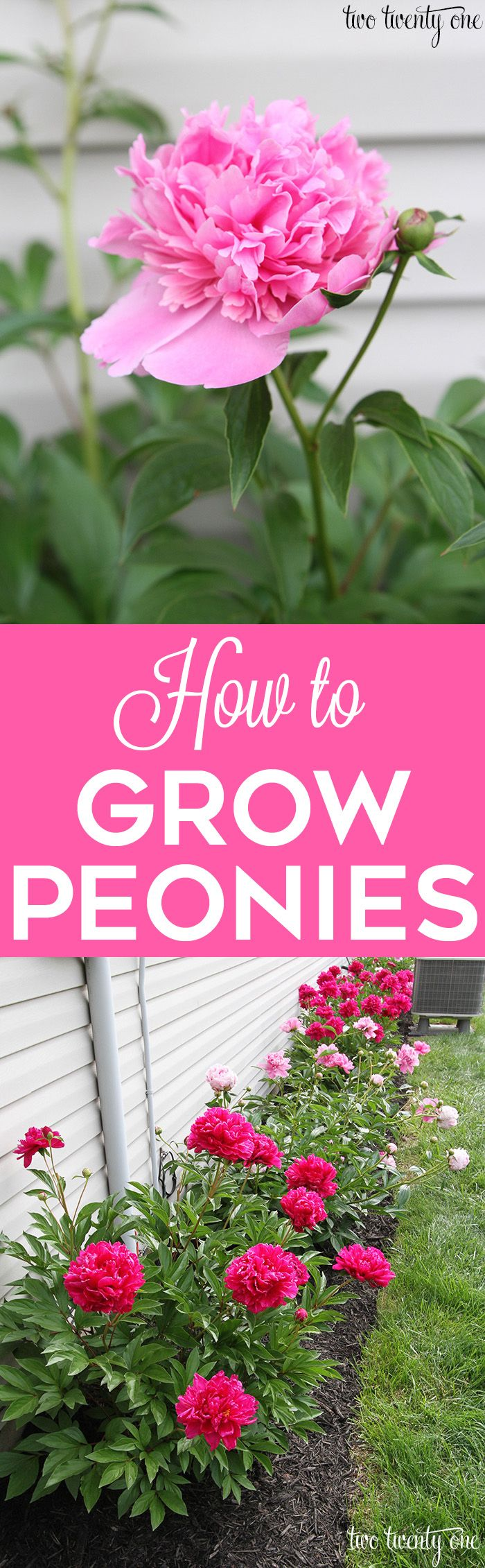 GREAT tips on how to grow peonies! Popular Pins! Gardening Pins!