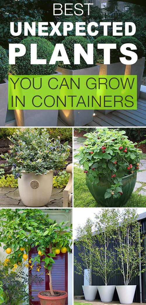 Best Unexpected Plants You Can Grow in Containers! • See how to plant boxwoods...