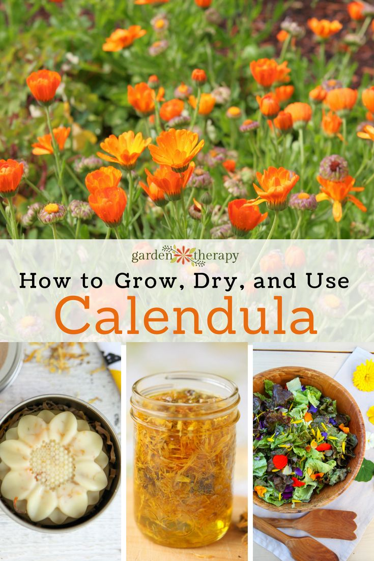More Than Just a Garden Beauty: How to Dry, Use, and Grow Calendula - There are ...
