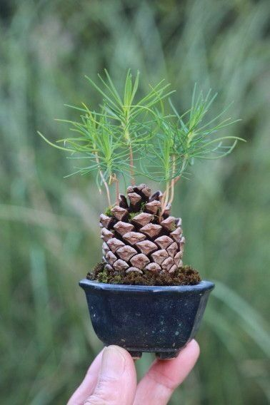 Pine Cone + Soil + Water + Sunshine = Pine Tree by Lovelylovely