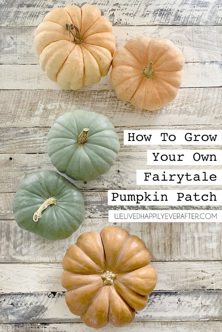 How To Grow Heirloom Fairytale Pumpkins From Seed (DIY Pumpkin Patch!) How To Ha...