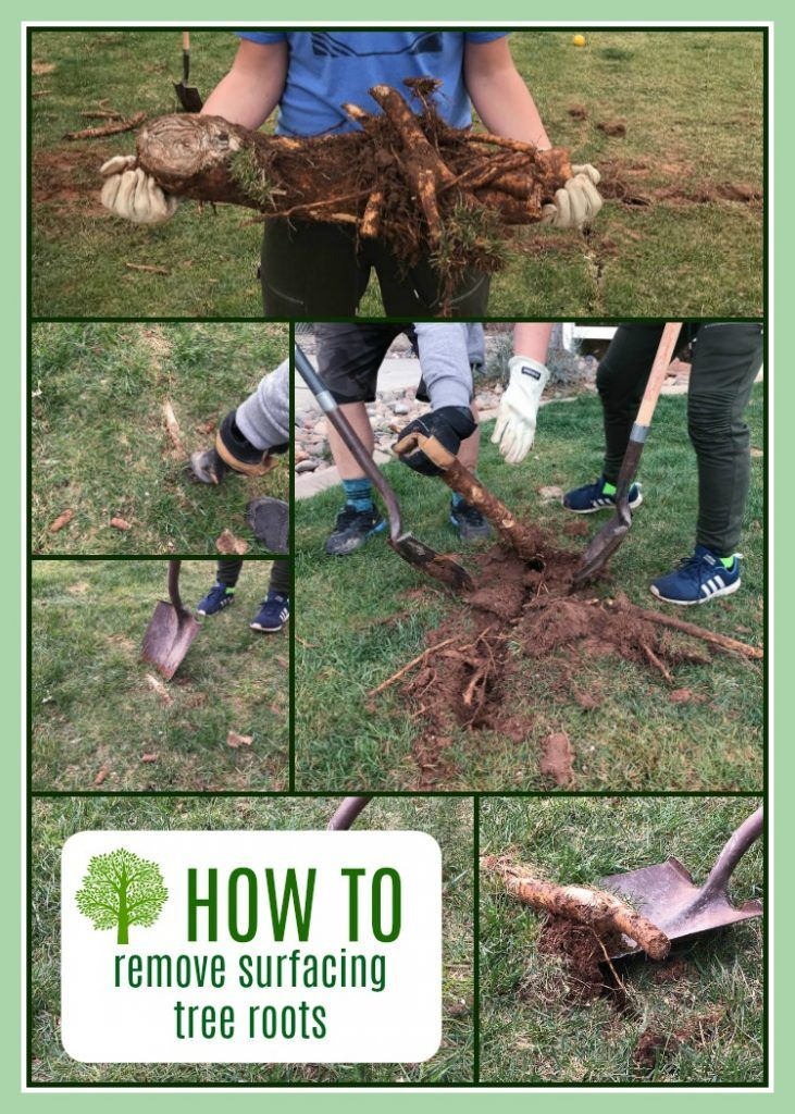 How to remove surfacing tree roots